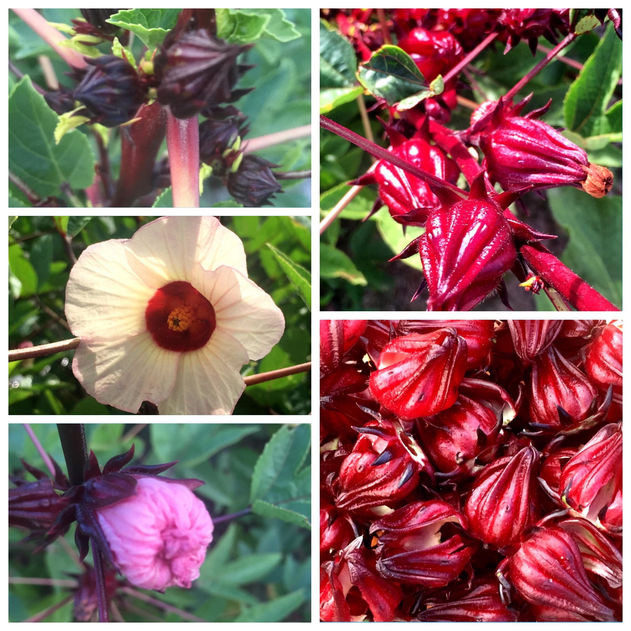 Cultivo De Flor De Jamaica Apuntes De Cocina Y Algo Más